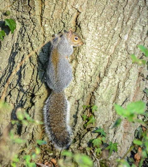 Grey squirrel DKG