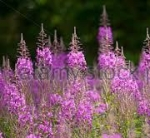 great willow herb
