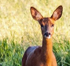 roe deer DKG