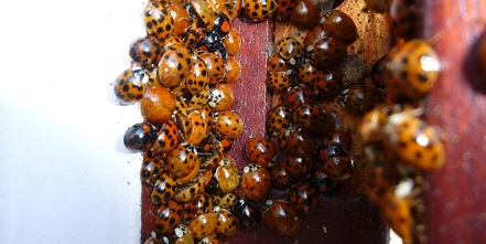 harlequin ladybirds inside the noticeboard - by Ian Bushell