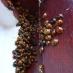 ladybirds2