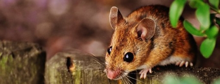 woodmouse