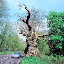 The Big Bellied Oak, Savernake