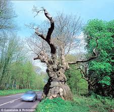 The Big Bellied Oak, Savernake