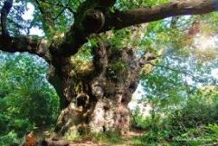 Cathedral Oak, Savernake