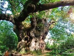 Cathedral Oak, Savernake