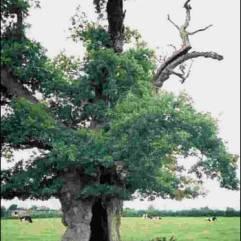 Cromwell's Oak