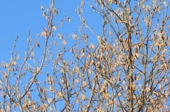 The catkin buds in November are small and grey
