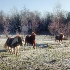 Shetland ponies at HNC
