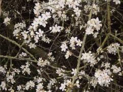 ...creamy white blossom...