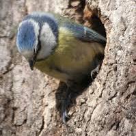 Bluetits trying out nest holes.