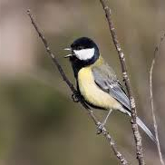Great tit calling