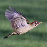 Green woodpecker in flight