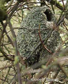 This is what the nest looks like inside the bramble thicket.