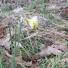 Native daffodil
