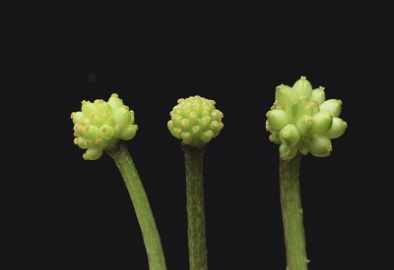 Ficaria verna ssp. fertilis - seedhead