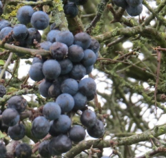 ...bitter blue-black fruit...