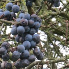 ...bitter blue-black fruit...