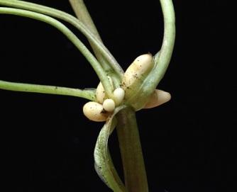 Ficaria verna ssp. verna - tubers