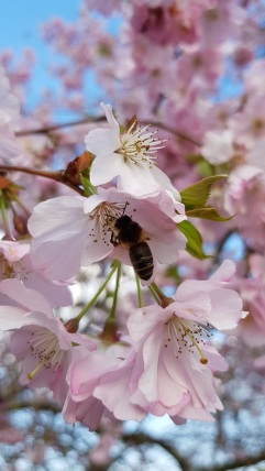 Honey bee worker on cherry blossom