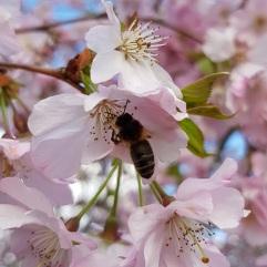 Honey bee worker on cherry blossom