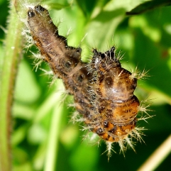 comma caterpillar starting to pupate