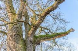 the damaged oak (5481) next to the pond
