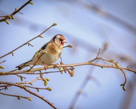 goldfinch near the car park
