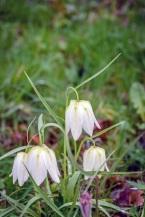 Fritillaria meleagris alba. DKG