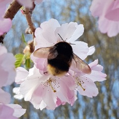 A buff tailed bumblebee queen on ornamental cherry blossom