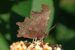 the comma's underwing
