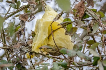 A rare golden poo bag among the brambles