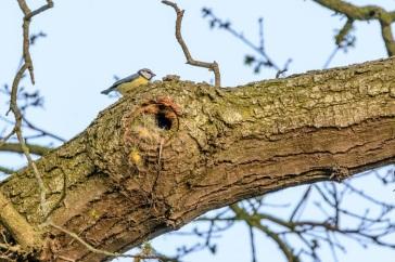 hen bird collecting nest materials
