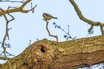 male bird guarding the nest hole