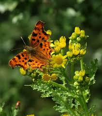 Comma feeding on ragwort