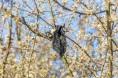 poo bag in blackthorn blossom
