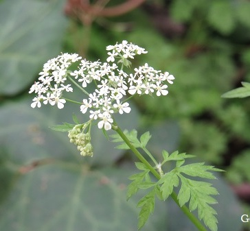 Cow parsley (Anthriscus sylvestris) grows along verges and in grassy areas.