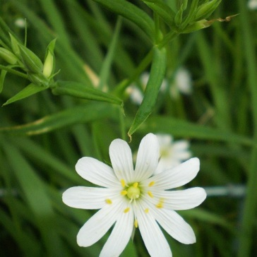 Greater stitchwort (Stellaria holostea) grows in woods, roadside verges, hedgerows and grassy banks.