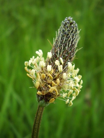 Narrow leaved plantain (Plantago lanceolata)in found pastures, and in waste places.
