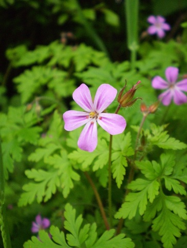 Herb robert (Geranium robertianum); an annual that grows anywhere that offers open ground and a little shade.