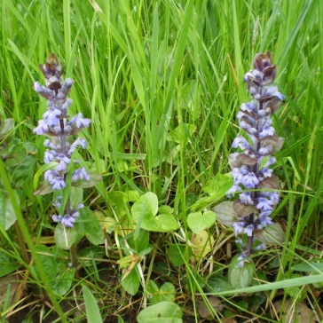 Bugle (Ajuga reptans) likes damp places at the edge of woodland.