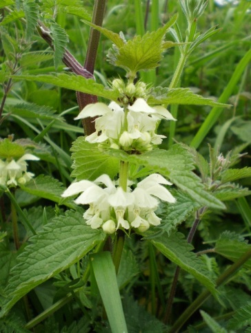 White dead nettle (Lamium album) grows on roadside verges, waste grounds, grassy banks and anywhere the ground has been disturbed.