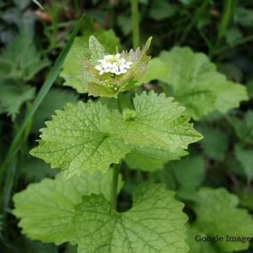 Garlic mustard (Alliaria petiolata) found growing with nettles in hedges and waste places.