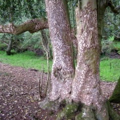 ...deer gnawing on the bark...