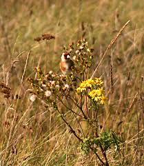 Goldfinch eating ragwort seeds