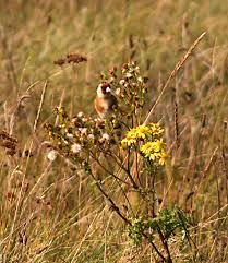 Goldfinch eating ragwort seeds