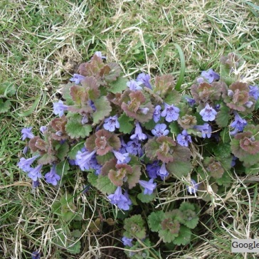 Ground Ivy (Glechoma hederacea) a clump-forming creeper on banks and damp places.