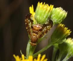 Rare species - Icterica westermanni