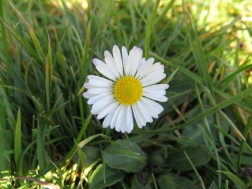 Common daisy (Bellis perennis) grows in short grass everywhere.