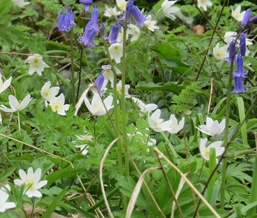 Wood anemone (Anemone nemorosa) growing with bluebells in woods before the trees are in full leaf
